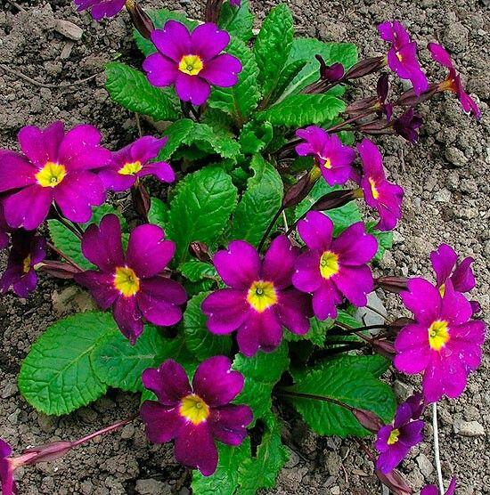 Wanda Juliana Primrose Sun Or Shade H 4 W 10 Bloom Early Spring Zone 3 8 Red Perennials Flowers Perennials Summer Flowers Garden
