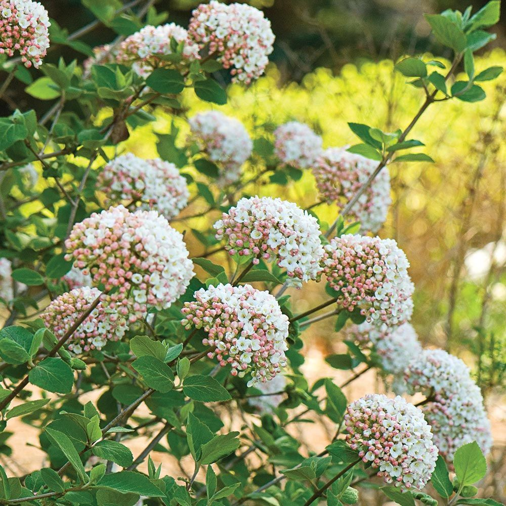 Viburnum Carlesii Flower Landscape Plants Flowering Shrubs