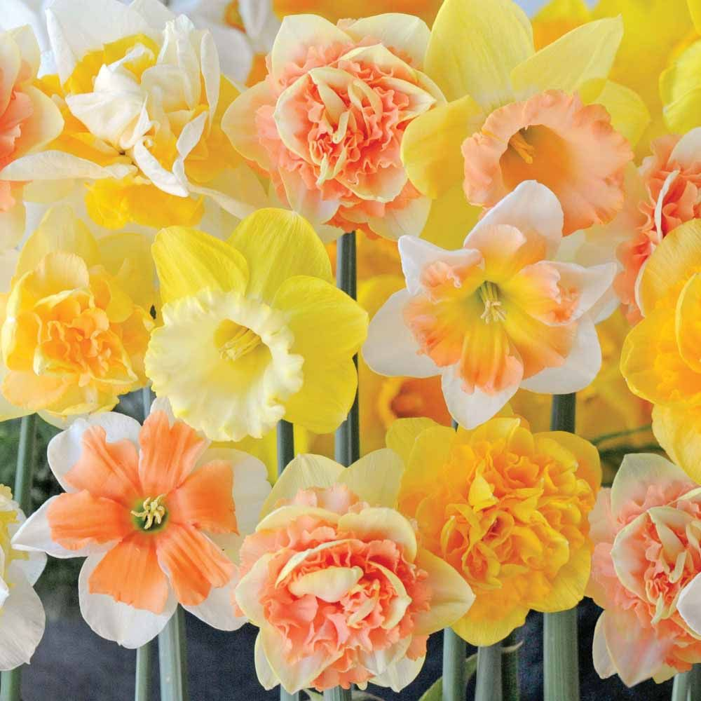Narcissus citrus sorbet daffodil bulbs thompson morgan for a superb spring display of mixed daffodils our narcissus citrus sorbet is just the answer a mixed variety of bulbs that when in flower produce a buycottarizona