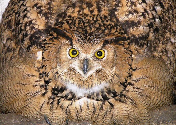 Eagle Owl imitating a ball of feathers. :-)