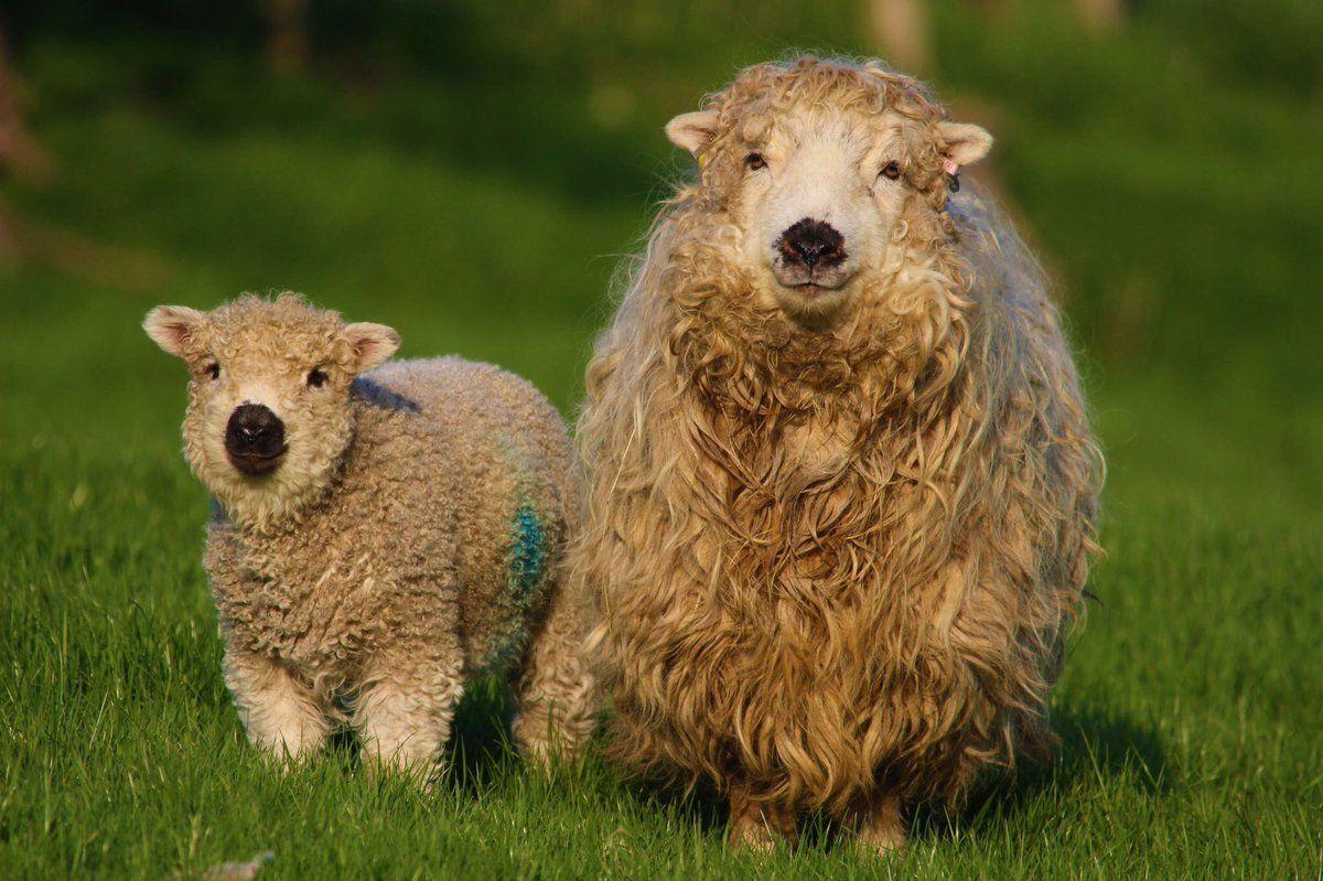 Afbeelding van Sheepy door Air Schapen, Dieren, Schattig