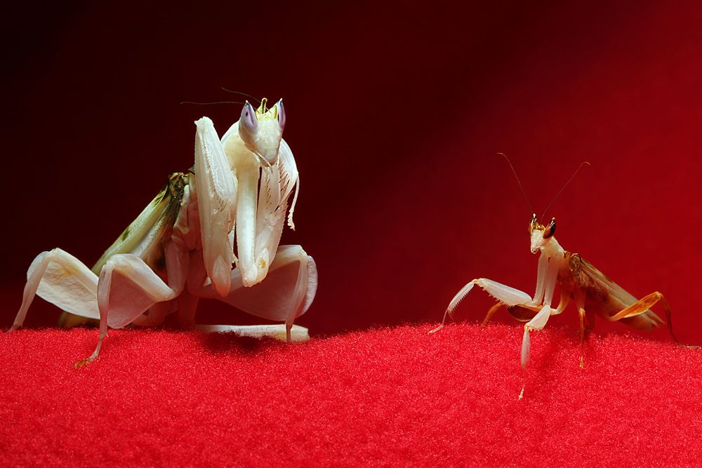 Adult female Orchid mantis on left and adult male Orchid