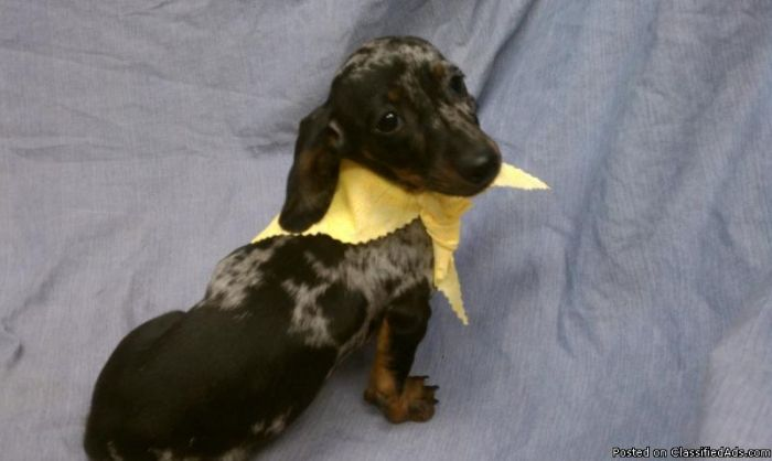 Miniature Dachshund Puppy For Sale In South Florida Dapple Color