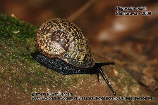 http://slendemics.net/easl/invertibrates/snails/photo/Oligospira-poleii.jpg