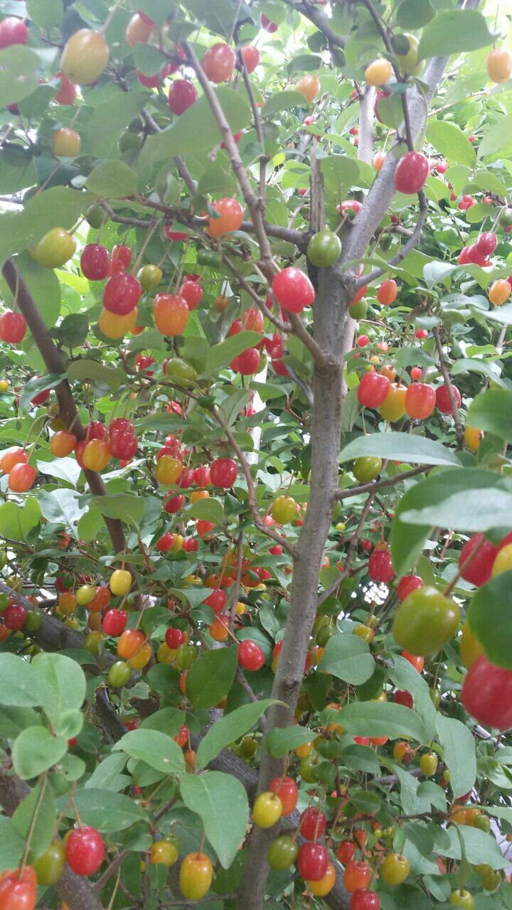 What Kind Of Tree Is It Tomatoes Ga Fruit Trees In 2019