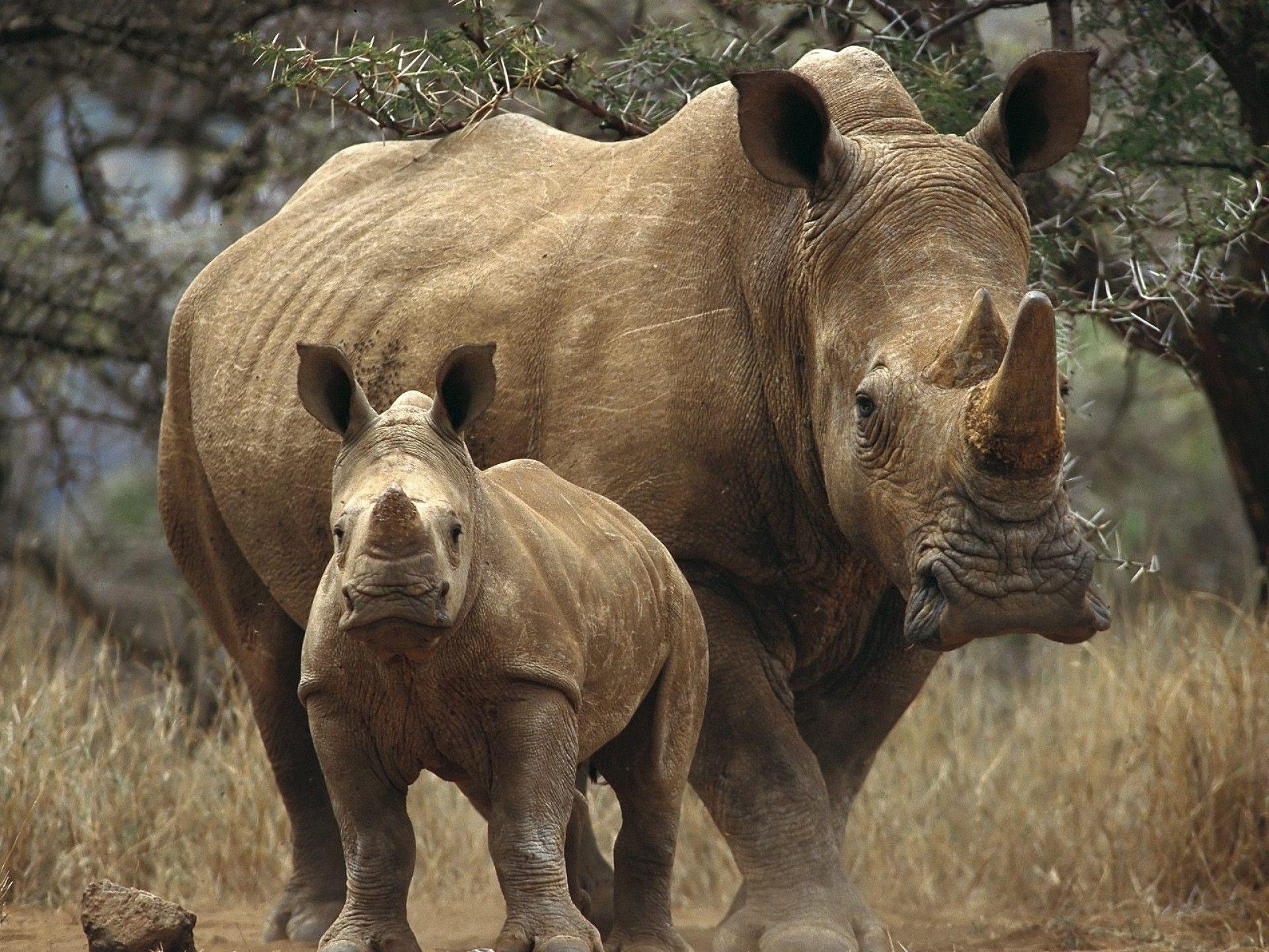 animal rhino wallpaper rinoceronte pinterest rhinos