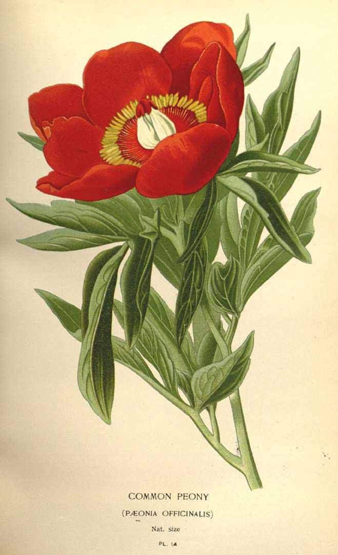 Paeonia officinalis by E. Step and D. Bois