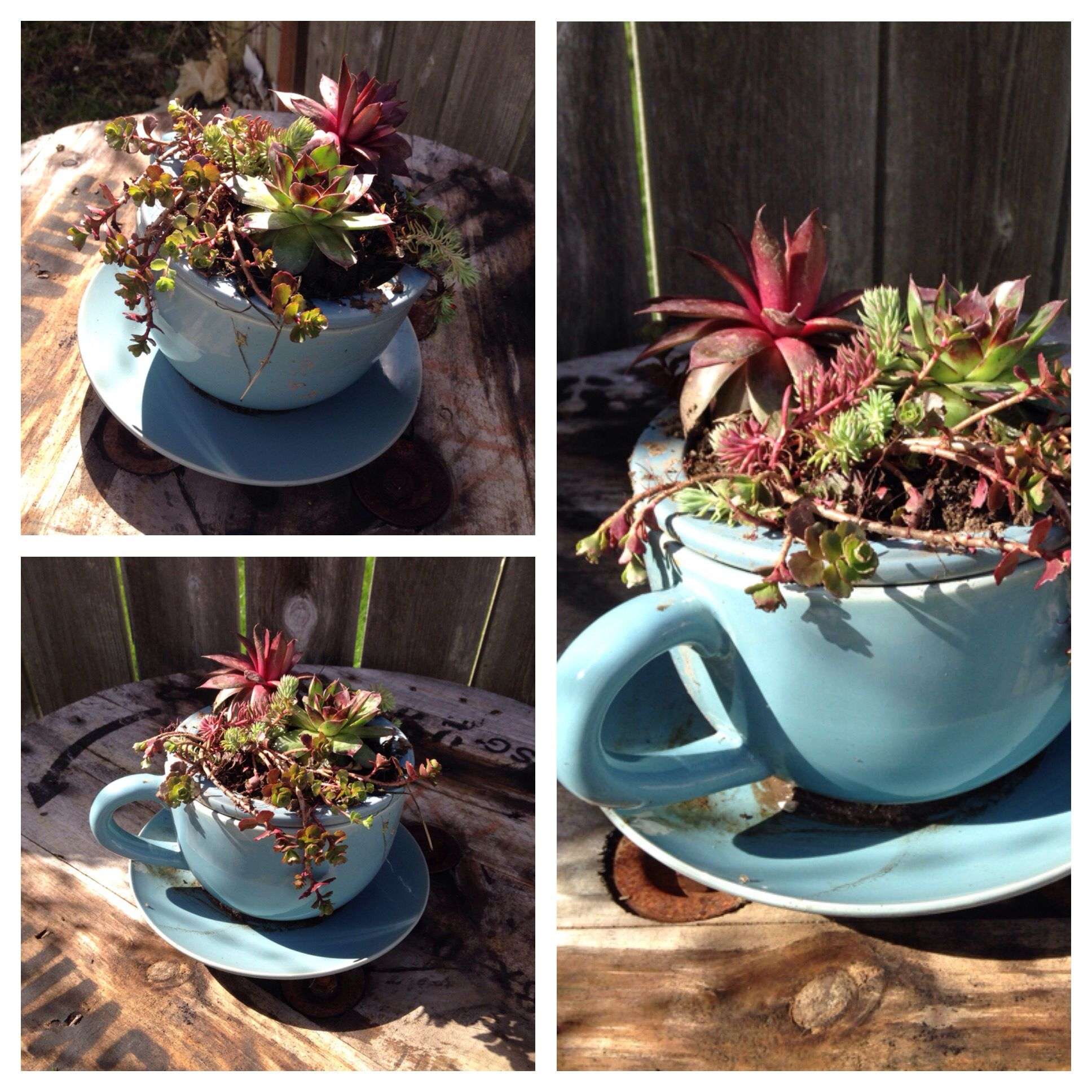 Large Tea Cup Planter Large Tea Cup Planter With Chicks N Hens Succulents Garden Yard