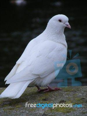 White Dove By Matt Banks Dove Symbolism Dove Pictures White Doves
