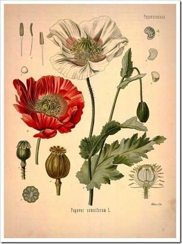 The site is a little cumbersome to navigate, but be patient! Most amazing collection of scanned books of printable/downloads of BOTANICALS (from 1400s etc...) here: http://www.botanicus.org/item/31753002839139