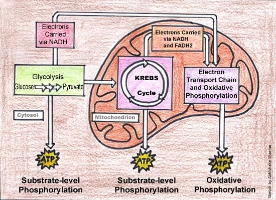 Cellular Respiration Diagram In 2020 Cellular Respiration Biology Classroom Cellular Respiration Biology