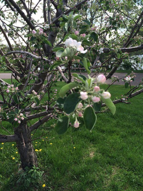 Free Plant Identification Apple tree, Plants, Apple fruit