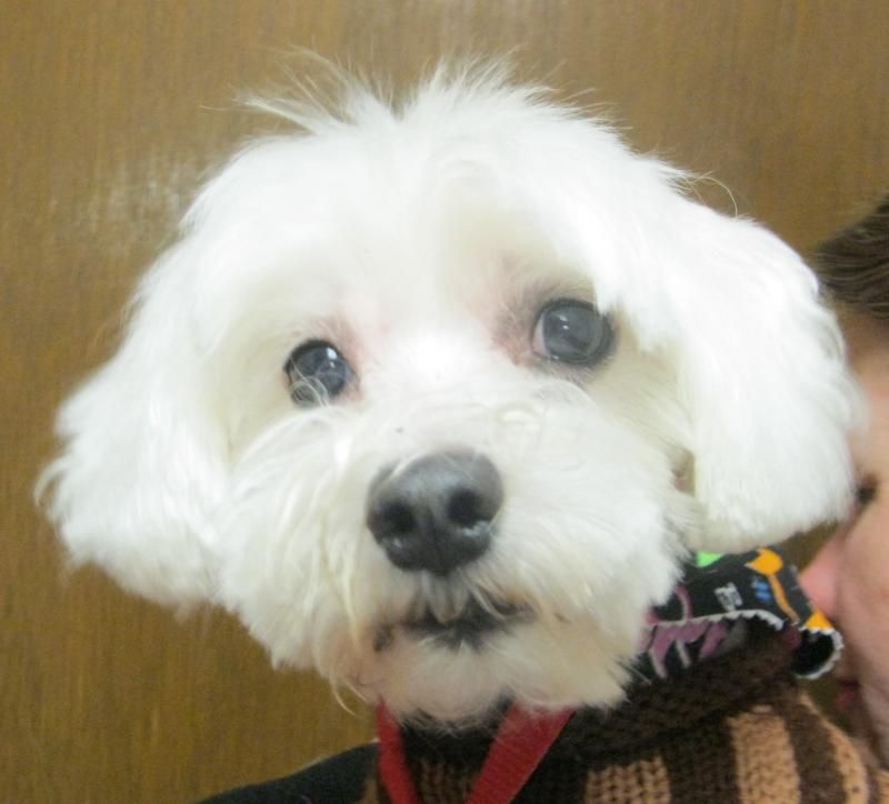 Adopt Toby On Toby Is A Maltese Dogs Animal Rescue