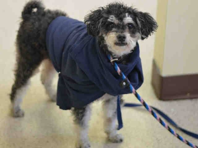 SAFE + Manhattan Center LEMUR - A1020509 MALE, BLACK / WHITE, POODLE MIN / SCHNAUZER MIN, 5 yrs STRAY - ONHOLDHERE, HOLD FOR ID Reason STRAY Intake condition EXAM REQ Intake Date 11/13/2014, From NY 10027, DueOut Date 11/16/2014, https://www.facebook.com/Urgentdeathrowdogs/photos/pb.152876678058553.-2207520000.1416248515./904933359519544/?type=3&theater