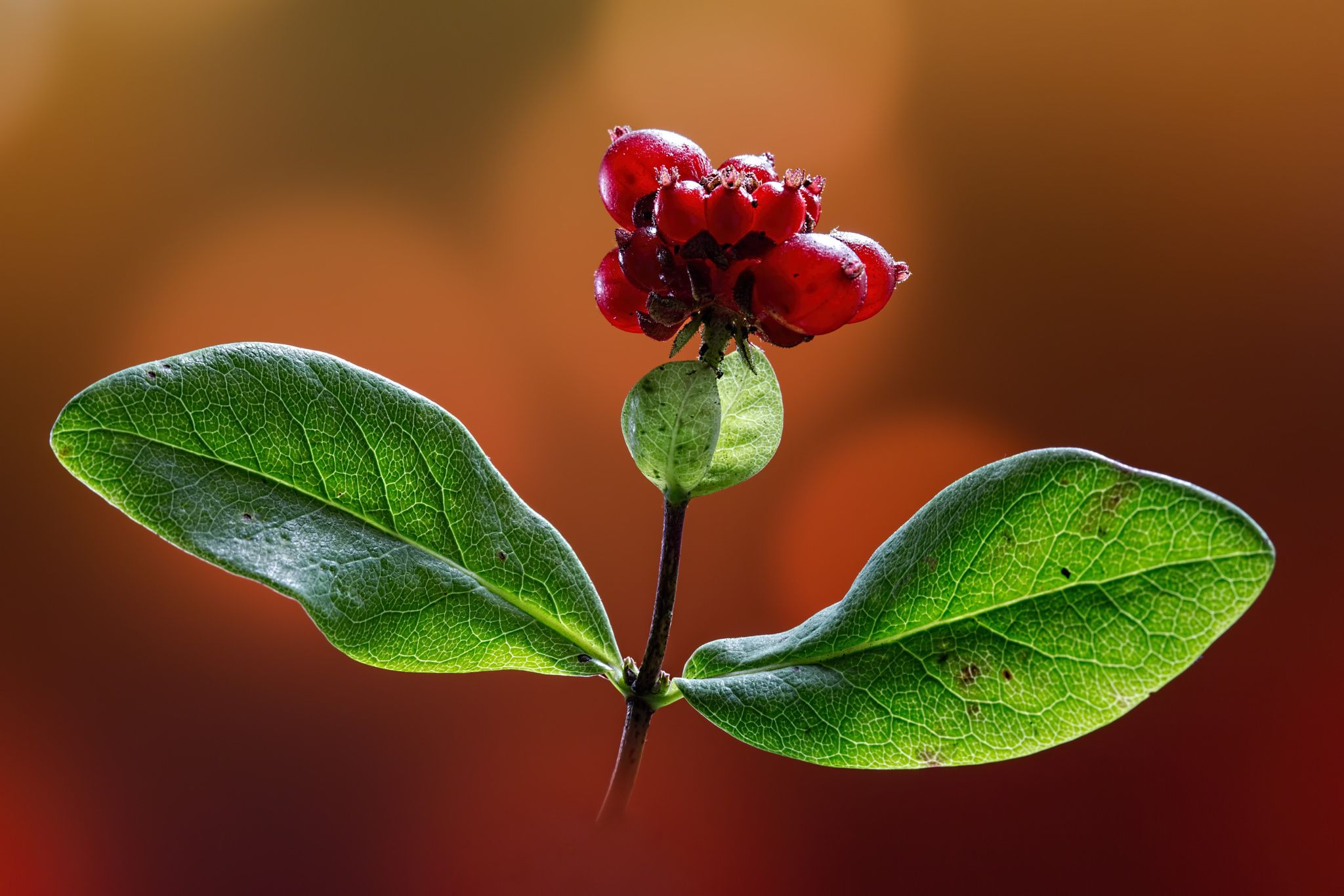 Photo Honeysuckle Fruit by Antony Scott on 500px