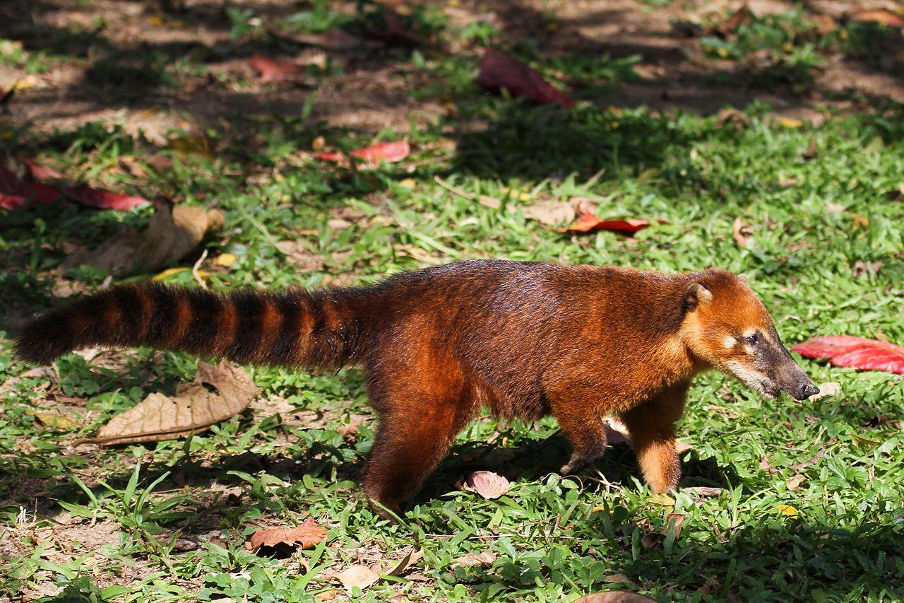 South American coati Wikipedia, the free encyclopedia