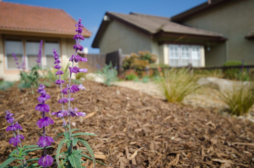 A garden rich with California native plants and sages, with new