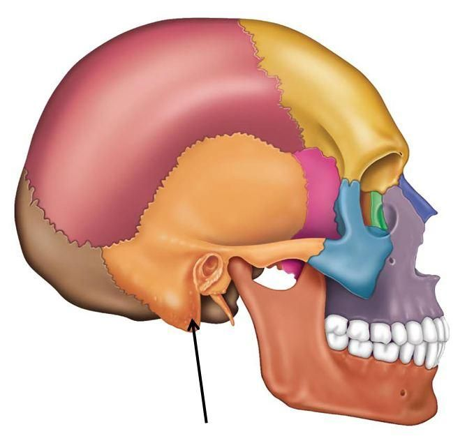 Mastoid Process Poster To Eam And Insertion Point Ecmuscle The