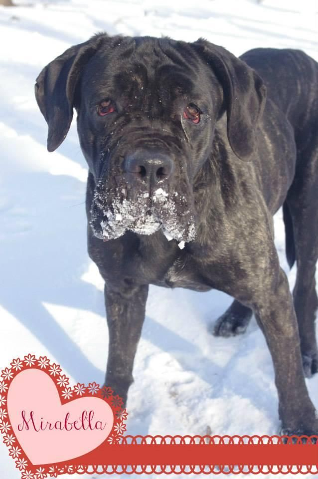 Petfinder Adoptable Dog Cane Corso Mastiff Youngstown Oh Id 77 Mirabella Very Sweet Approximat Dog Adoption Dog Pounds Dog People