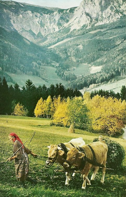 Oxen pull hay beneath the summit of Schneeberg, Austria  National Geographic | February 1959
