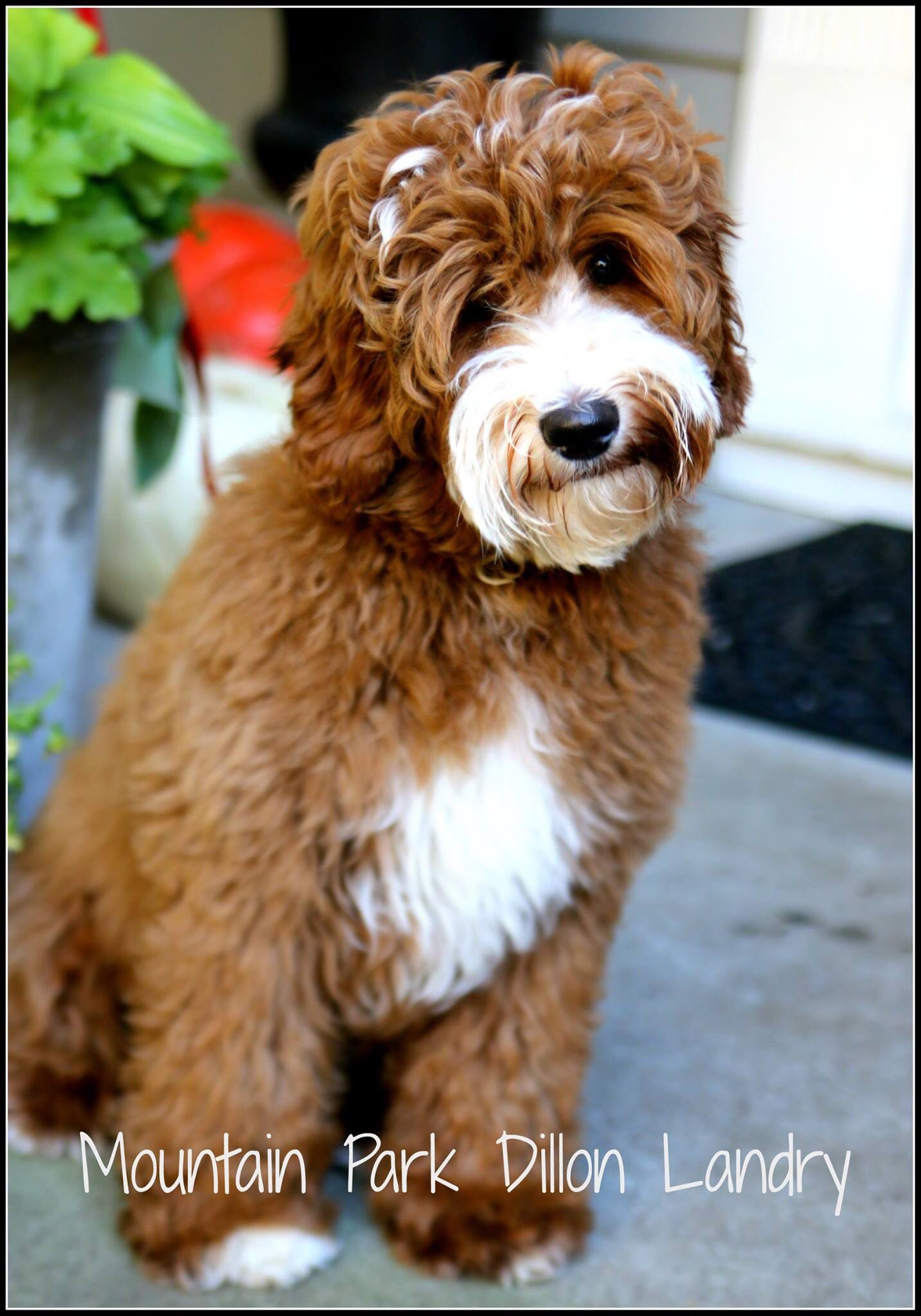 Red Australian Labradoodle Puppy From Www Mtparklabradoodles Com He Doesn T Look Real Australian Labradoodle Labradoodle Puppy Red Labradoodle