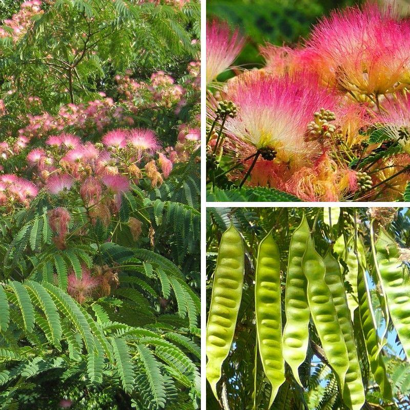 Albizia julibrissin fleurs rouges semblables de la for Taille d un albizia