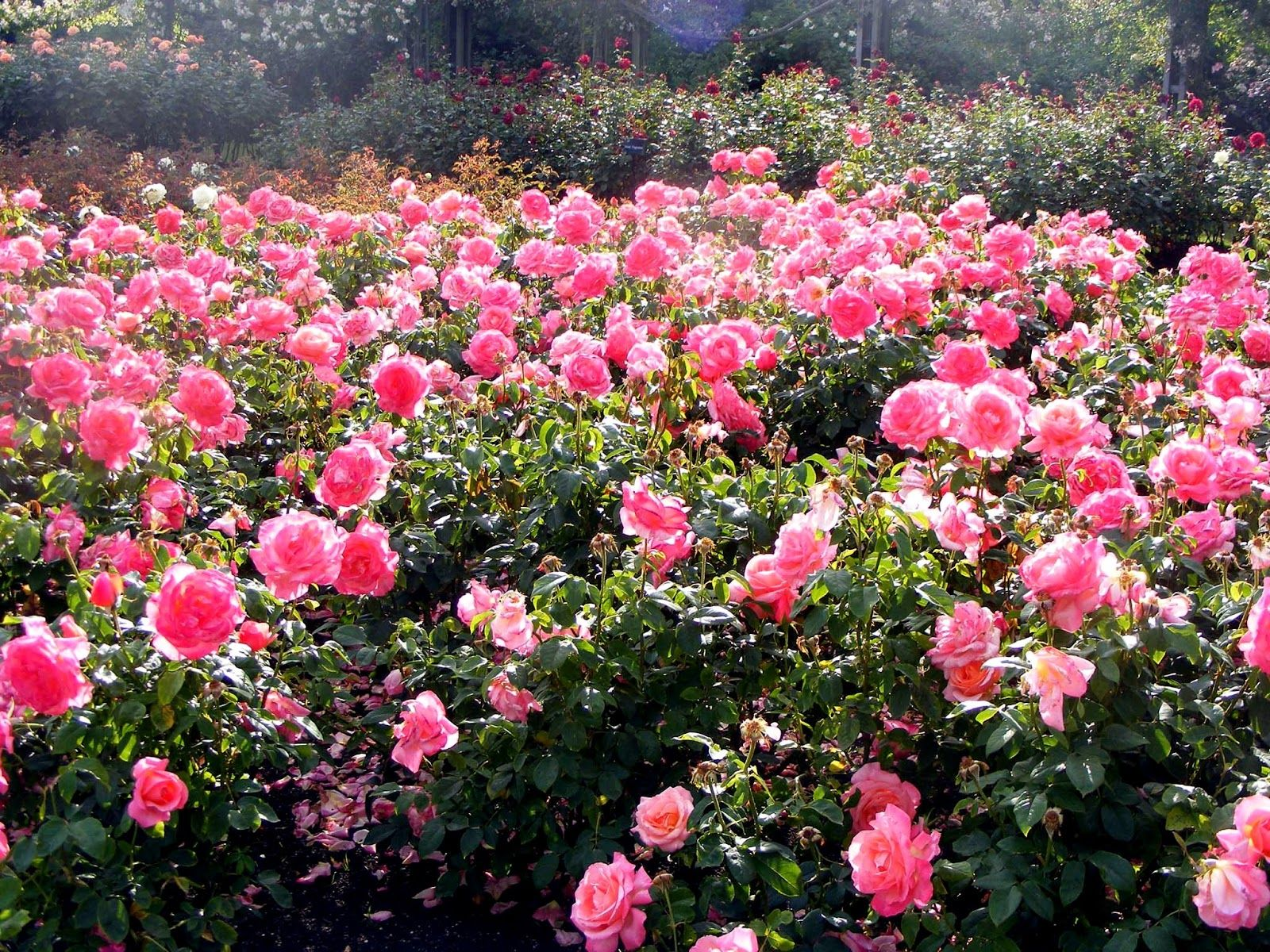 Most Beautiful Rose Gardens In The World queen mary's garden - most beautiful rose garden ever! | tourism