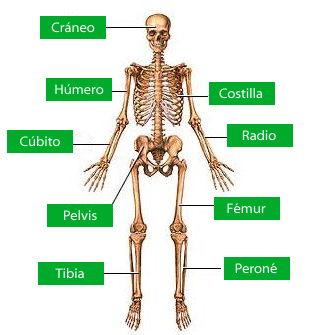 En Un Gráfico Del Sistema óseo Indicar Los Huesos Más Importantes Búsqueda De Google Sistema Oseo Cuerpo Humano Para Niños Sistemas Del Cuerpo Humano