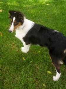 Collie Rescue Of Greater Illinois Gracie Collie Rescue Collie