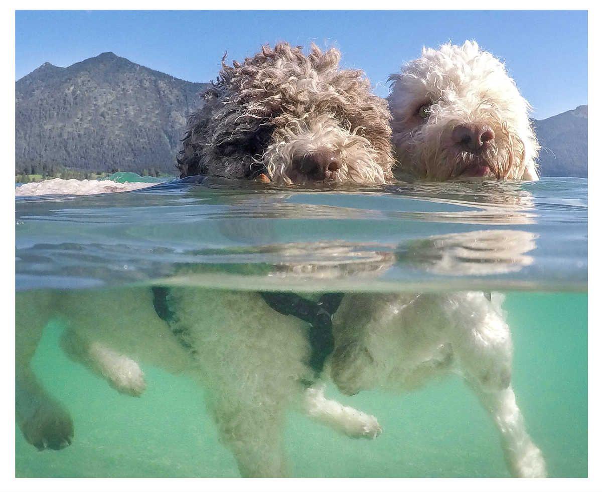Coco And Mascaropone Synchronized Swimming Lagotto Romagnolo