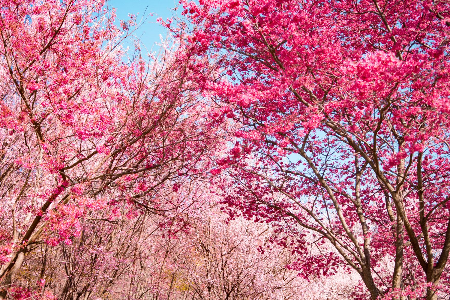 5 Secret Places To See Cherry Blossoms In Dc That Are Tourist Free 2021 Cherry Blossom Dc Cherry Blossom Washington Dc Cherry Blossom