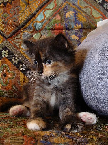 So Cute Tortie Kitten Chats Et Chatons Chat Ecaille De Tortue Chat