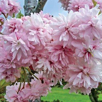 Flowering Trees Weeping Extraordinaire Double Flowering Cherry Flowering Cherry Tree Flowering Trees Weeping Cherry Tree