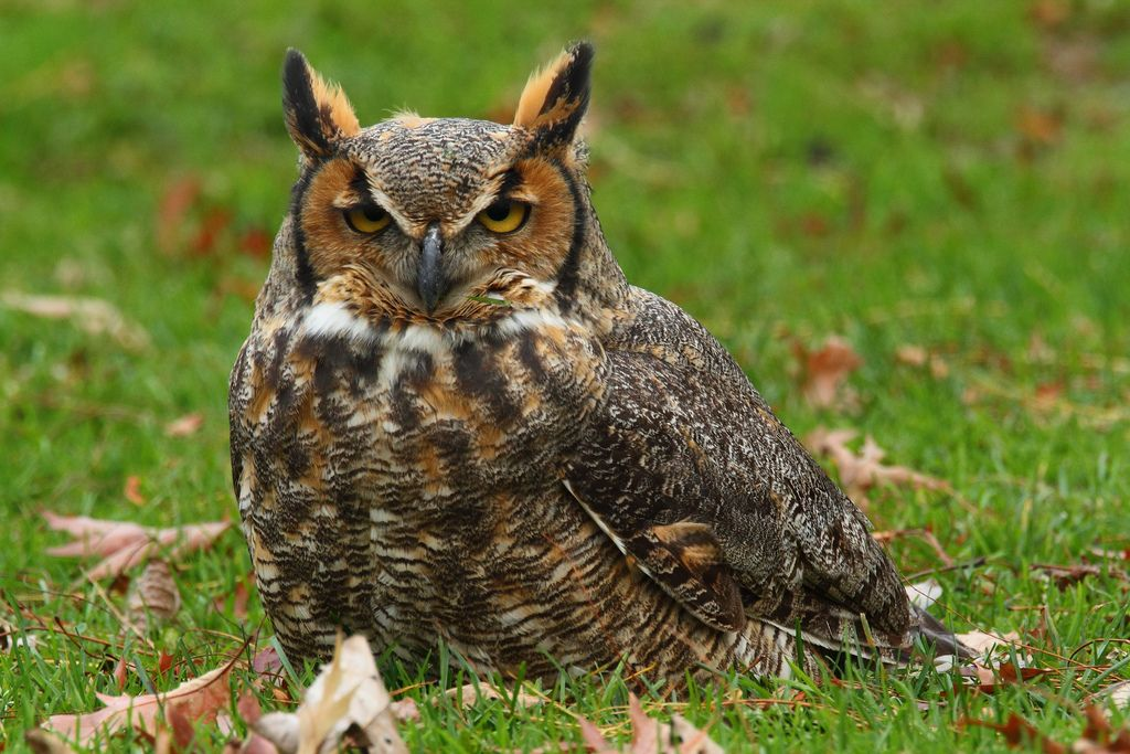 https://flic.kr/p/aEHqiF   Lazarus Owl   My apologies for not being very active on Flickr lately, but life has become quite overwhelming lately and I haven't been able to comment very often on my contacts photos.  On this past Friday I set off for the Chicago lakefront hoping to photograph some late migrants.  My second, and last stop was at North Pond.  Lots of house sparrows, pigeons, mallards, and wood ducks, but not much else.  However, there was a great deal of noise being made by some…