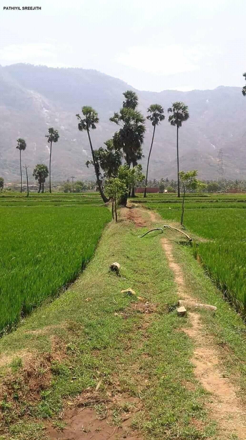 Kerala Palakkad Karimbana Paddy Fields Village Photography