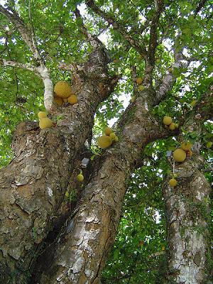 Jaca Fruits Fruit Flowers Fruit Tree Garden Fruit Plants