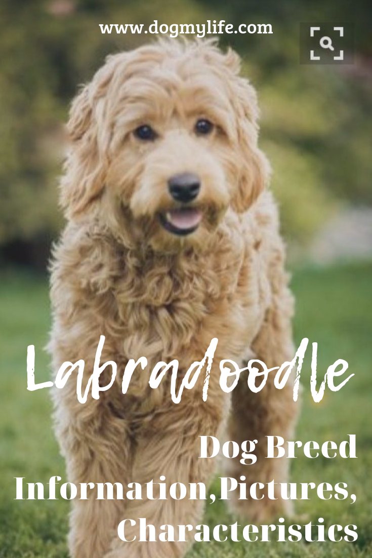Originally Bred In Australia As Low Shedding Hypoallergenic Guide Dogs Labradoodles Have Become One Of The Labradoodle Dogs Labradoodle Designer Dogs Breeds