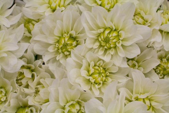 Image result for covent garden dahlia white