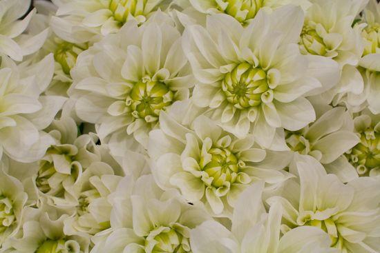 Image result for covent garden dahlia white