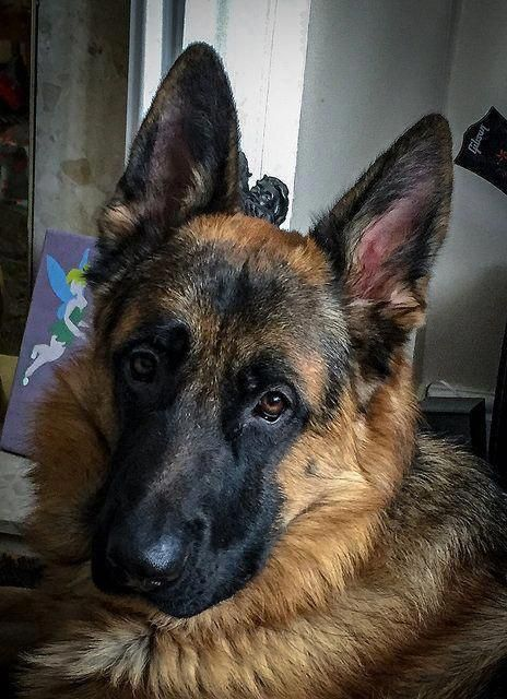 German Shorthaired Pointer Smart Friendly Dog breeds