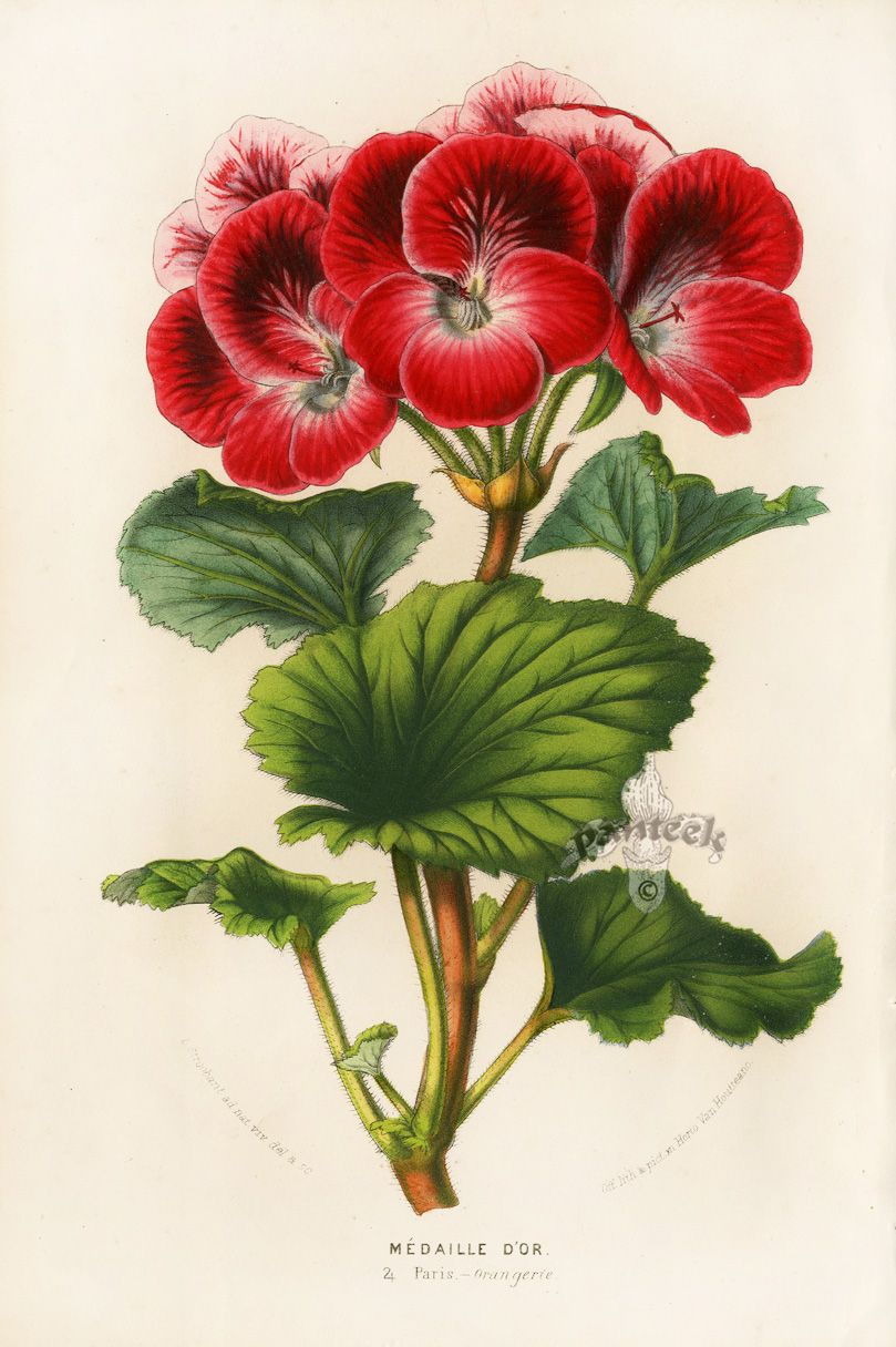 Botanische Serre Louis Van Houtte Flore Des Serres 1858 Medical Biological