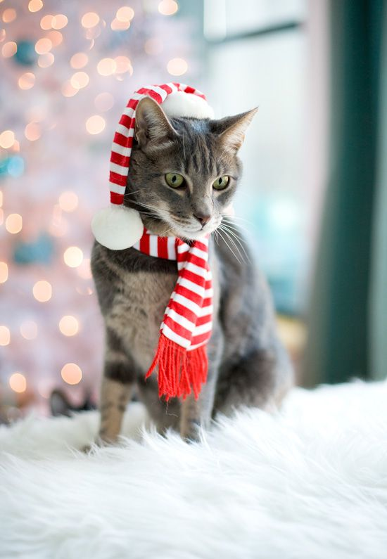 Kitty is ready for the Christmas, with his festive winter scarf. #Winter - Kitty Is Ready For The Christmas, With His Festive Winter Scarf