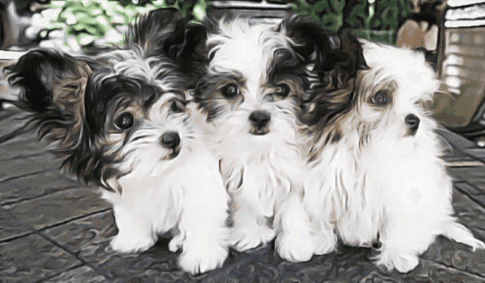 View our adorable, health tested MiKi puppies for sale