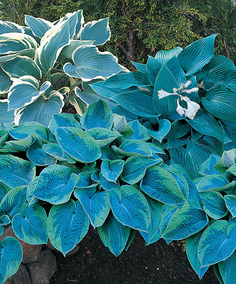 Look What I Found On Zulily Live Cool Blue Mix Hosta By Spring Hill Nursery Zulilyfinds