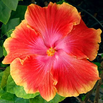 Exotic hibiscus 'Exuberance'