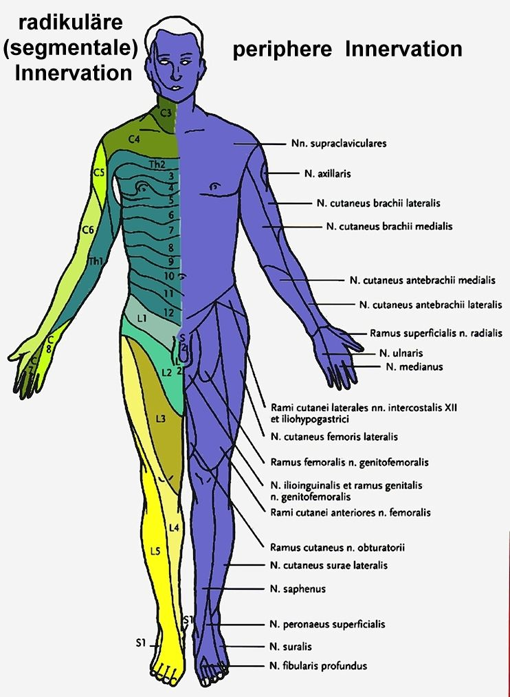 innervation chart- just in case you pinch a nerve doin OH Squats ...