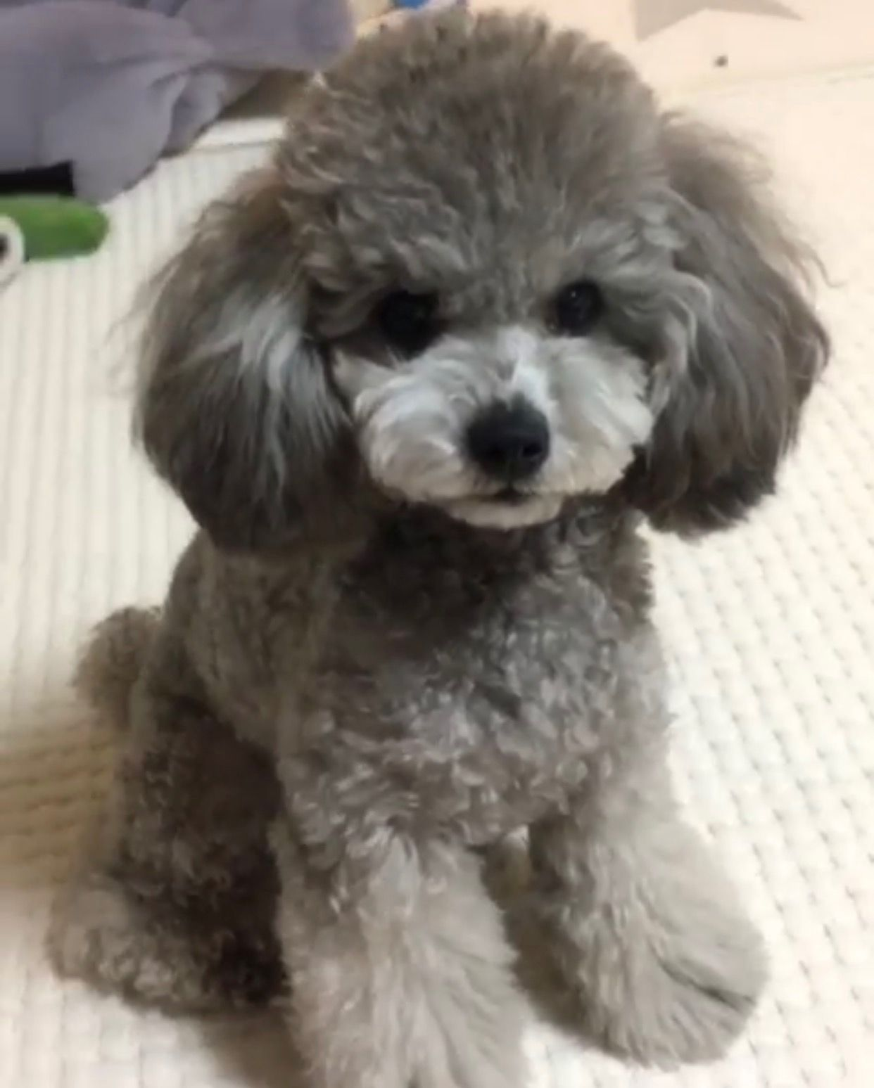 Toy Poodle Haircut Poodle Dogs