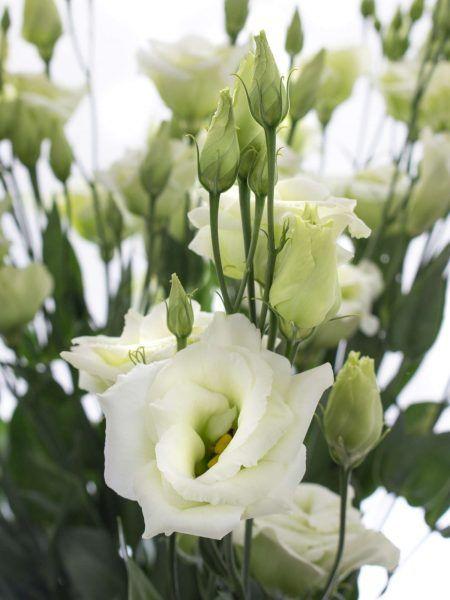 lisianthus eustoma rosita green gr n schnittblumen pinterest. Black Bedroom Furniture Sets. Home Design Ideas