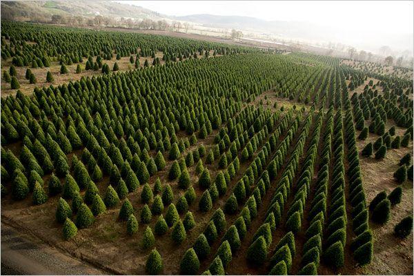 Harvesting Christmas Trees Christmas Tree Pictures Christmas Tree Farm Tree Farms