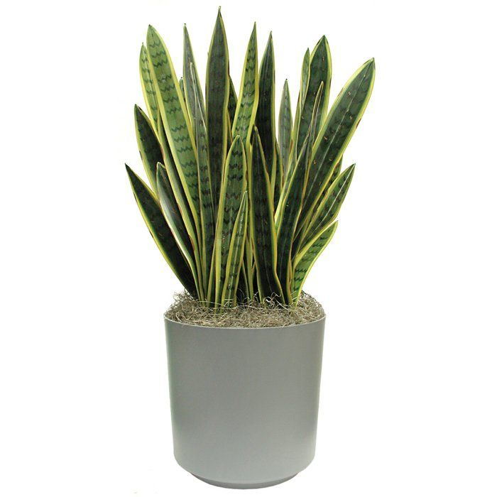 bogenhanf pflanze pflegeleichte zimmer pflanzen pflanzen ideen - pflanzen topfen kubeln terrasse